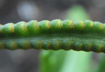 瓶爾小草的孢子囊及孢子囊枝