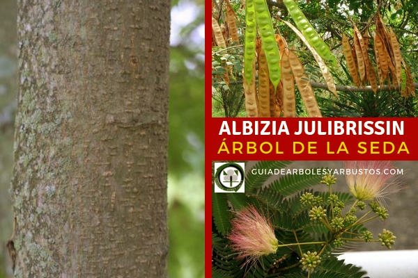 Albizia julibrissin, árbol de la felicidad, flores fragantes de color rosa y esponjosas,cubren el árbol