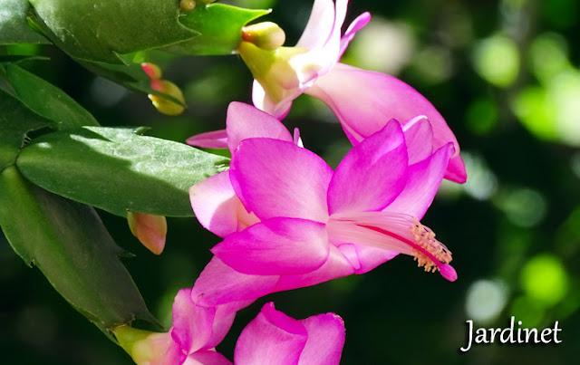 Como fazer mudas de flor-de-maio - Schlumbergera truncata
