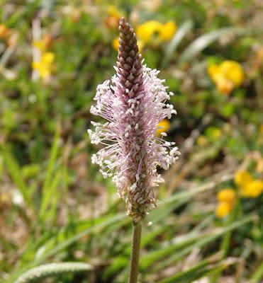 Flor del llantén mediano (Plantago media)