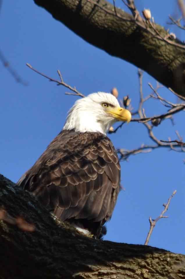 Hiking Pennsylvania Bald Eagle Sightings And The Susquehanna River