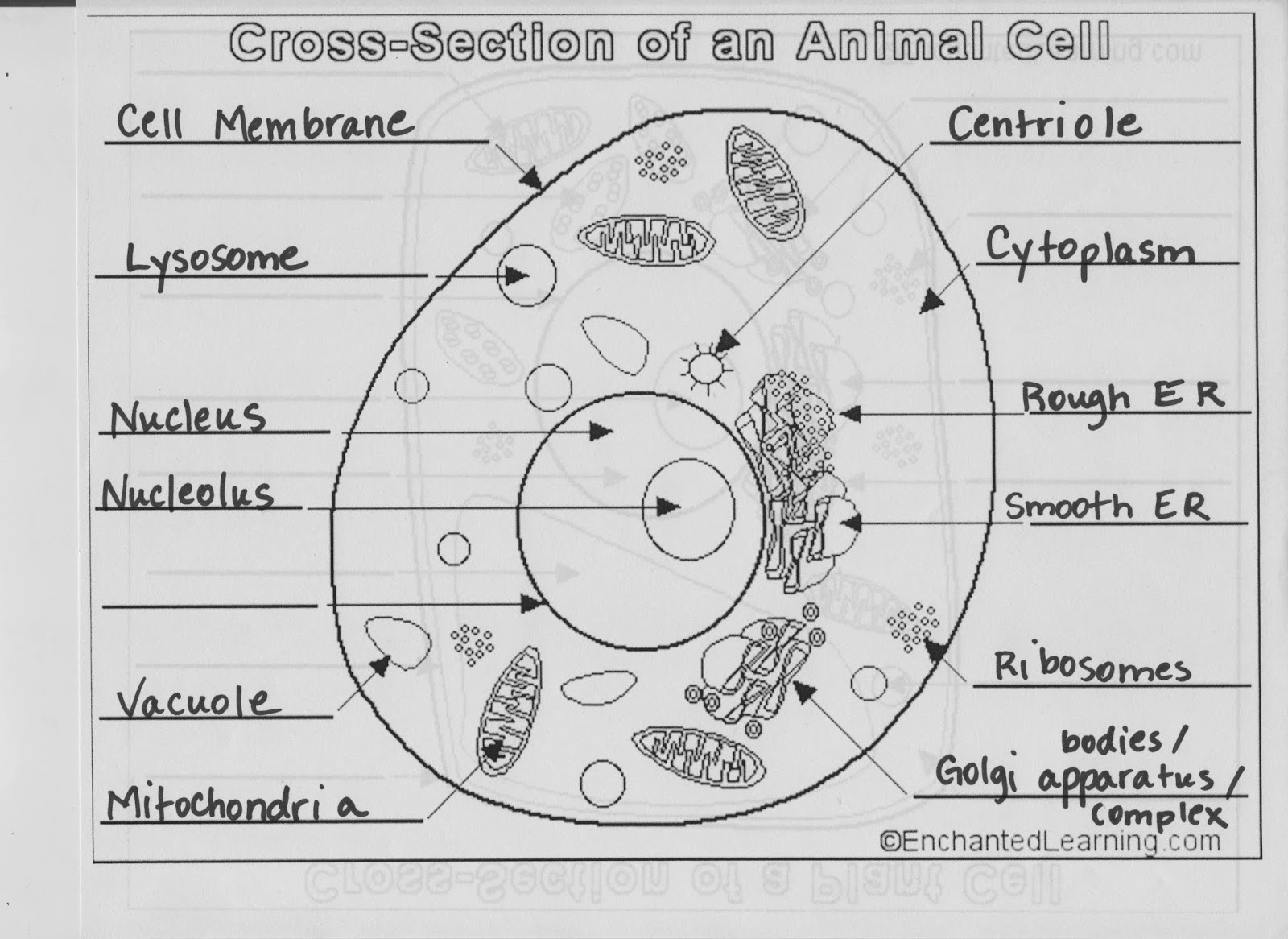 Biology With Coach T Cell Related Diagrams You Must Know Collection Animal Vacuole Diagram Pictures