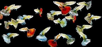 cara budidaya ikan guppy download,guppy di kolam,guppy pdf,guppy import,makalah budidaya ikan guppy,ikan hias di akuarium,jenis ikan guppy,penyakit ikan guppy,