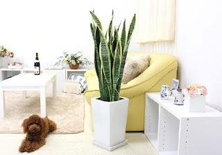tanaman hias Sansevieria atau lidah mertua