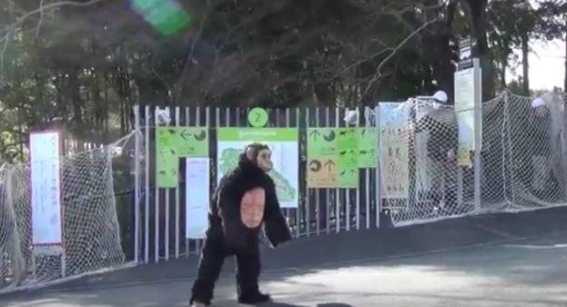 Se disfraza de chimpancé y le disparan con el dardo tranquilizante