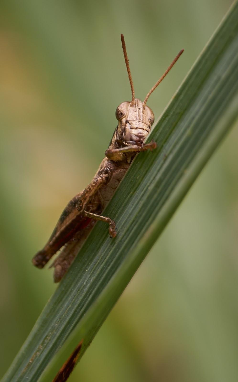 grasshopper,close-up,regal,Philippines