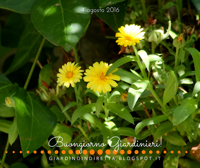 calendula (Calendula officinalis) - il giardino dalla A alla Z - un giardino in diretta