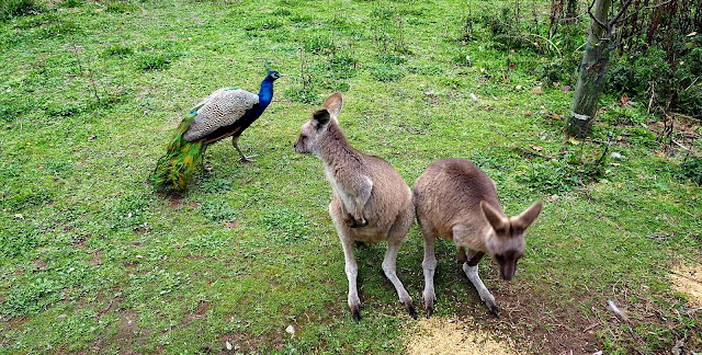 Kenguru, riikinkukko, Fota Wildlife Park, Cork