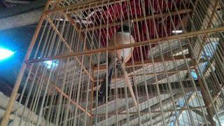 Mencari Settingan Burung Cendet Secara Tepat