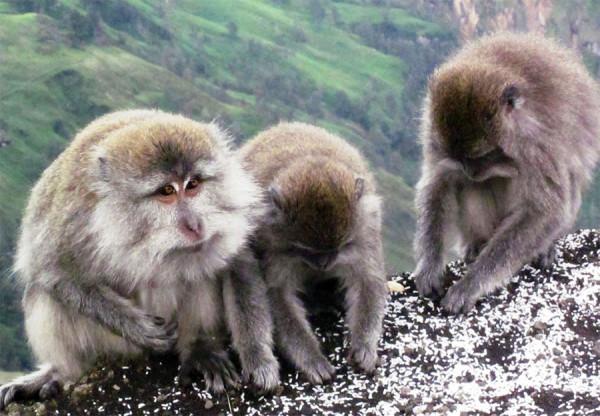 Spesies monyet di Gunung Rinjani