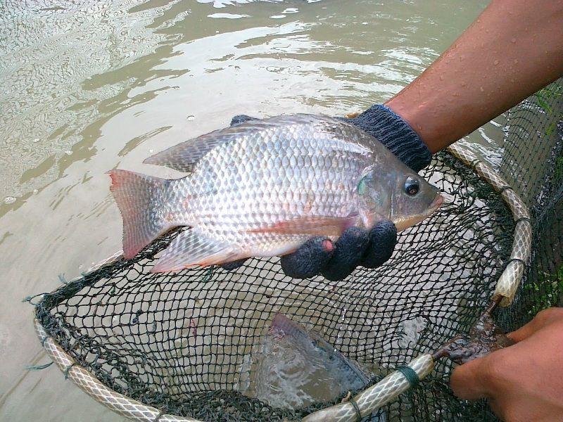 telur ikan nila menetas berapa hari