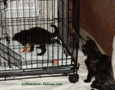 Junpier, Barley, foster kittens, black kitten, tortie kitten
