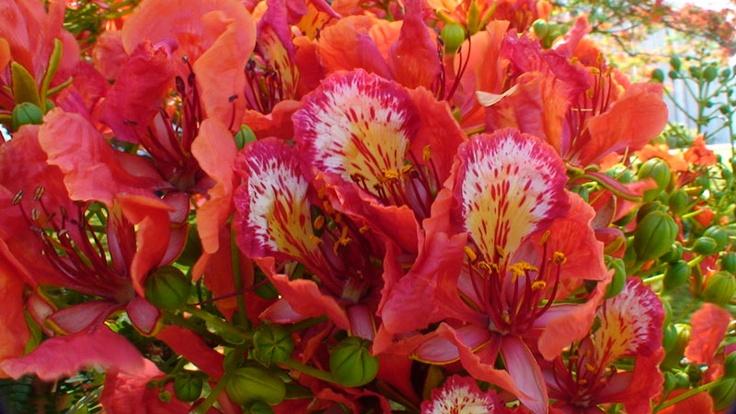 Caribbean Flowers: Caribbean Tropical Flowers