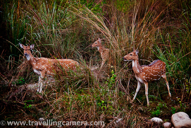 The third trip to Corbett was with family in 2013. This was perhaps the best trip to the reserve. We rented 3 cottages at Tarika's Jungle Park for one night. Though the resort wasn't on the banks of Kosi, it was at a walking distance from it. We headed to Kosi immediately after we reached the resort. This was the first time my nephew was seeing a river up close. The fact that he could stand in the waters amused him and he gleefully watched little fish frolicking around his feet. Entering mountain rivers is generally not safe, so it is best to ask your resort manager about the safety. Irrespective of everything, entering the river during monsoons is definitely unsafe. Anyways, we came back to the resort before it became dark with plans to return early next morning. In the evening our tour guide visited us and narrated several scary stories about encounters with tigers inside as well as outside the reserve. When we shared our plans of visiting the riverside early in the morning, he warned us not to head there too early. Apparently a tigress with two cubs was habitual of visiting the river in the morning. Thanking our stars that we had shared our plans with the guide, we cancelled our morning plans.