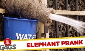 Mad Elephant Prank – Just For Laughs Gags