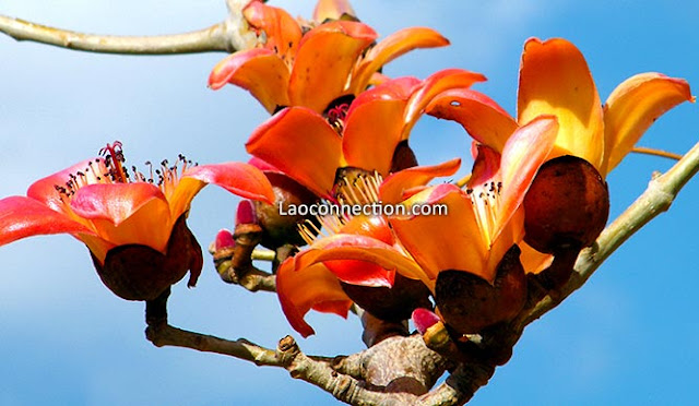 kapok flower - orange red