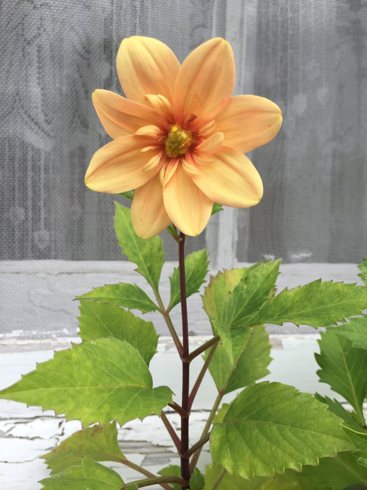 Window Box Dahlia