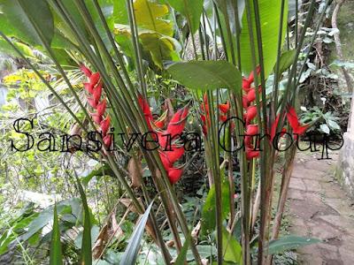 heliconia-bihai-bunga-merah