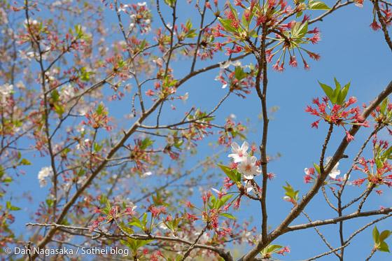 菅生緑地の葉桜