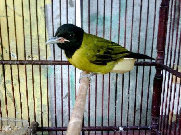 Jika Anda ialah seorang kicaumania niscaya Anda sudah erat dengan jenis burung yang satu  Daftar Harga Burung Samyong Garugiwa Terbaru 2018