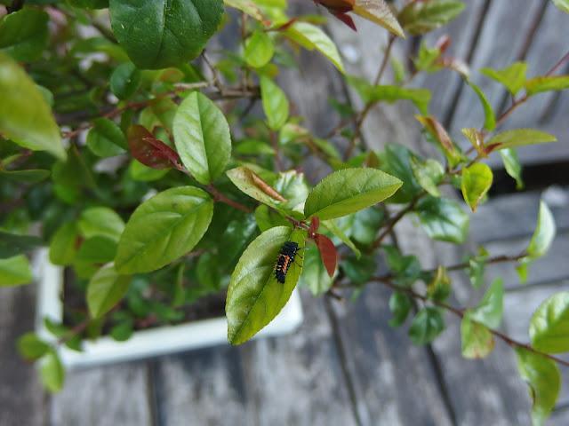 Bonsai tree with ladybird larva
