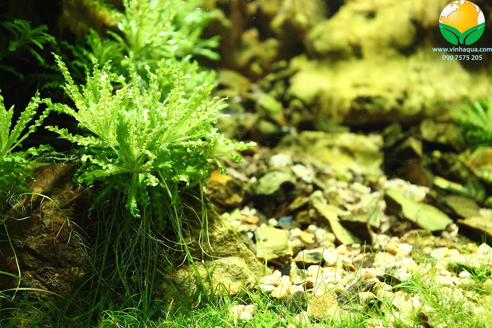 Vẻ đẹp của cây sao nhỏ trong hồ thủy sinh