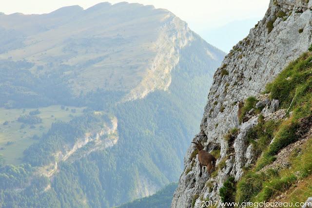 Bouquetin sur les pentes du Mont Aiguille, Isère