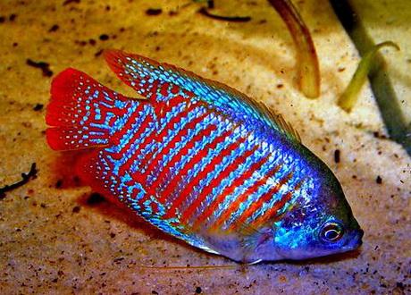 Ikan Gurame Mini Alias Gurami Kerdil Dwarf Gourami Colisa Lalia Budidaya Ikan Ikan Hias Resep Ikan Gambar Dan Video