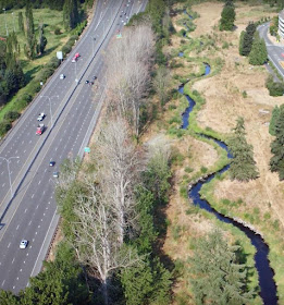 Several dead and dying trees shown here next to SR 520 near Redmond will be topped during an upcoming project.