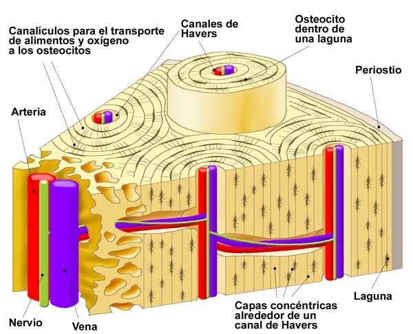 La Mitocondria: Nuestros tejidos XI: Tejido óseo