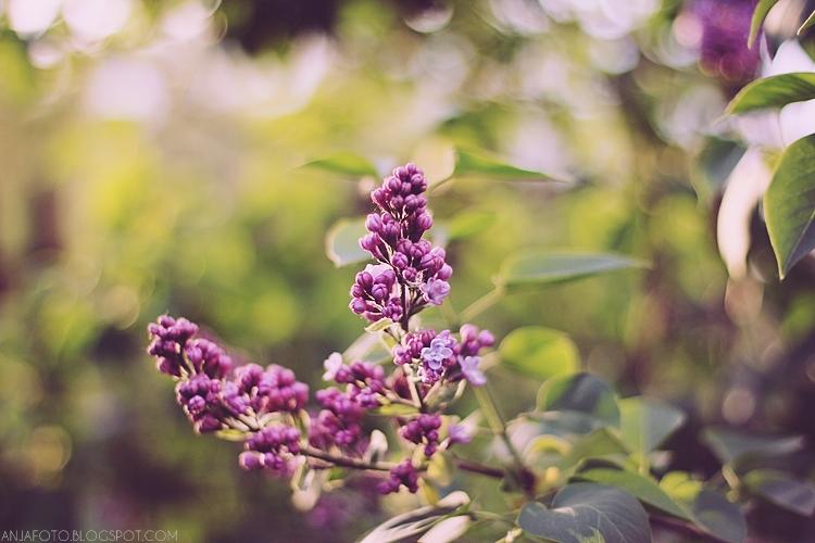 bez, lilac, fotografia przyrodnicza, canon 50 1.4, bokeh, rozmazany bokeh