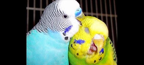 Periquito - Periquito Macho ou Fêmea