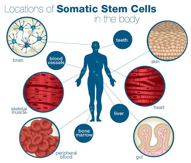 الثورة المُعاصرة في العلاج «الخلايا الجذعية»