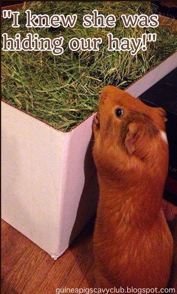 guinea pigs cavy club tips pics march 2015