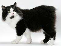 Kucing Manx Ras Kucing Yang Unik Di Dunia
