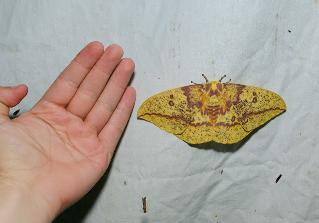 Imperial Moth Size