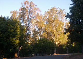 Sunlight highlights two tall trees among the shadows in Vasona Park