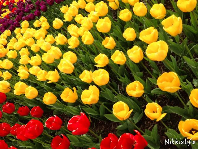 【西雅圖。生活】滿地整個校園的的櫻花樹及四月限定的鬱金香園 6