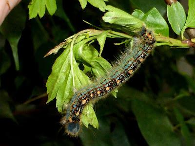Malacosoma disstria caterpillar