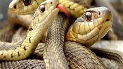 المنوفية, هجوم الثعابين, انتشار الثعابين والافاعي,