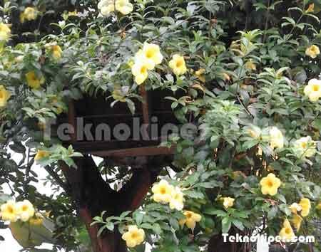 Khasiat bunga alamanda terompet emas untuk kesehatan
