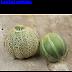 Dưa lưới Jenny Lind (Cucumis melo,CUC00162)