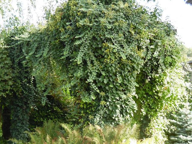 altana obrośnięta bluszczem