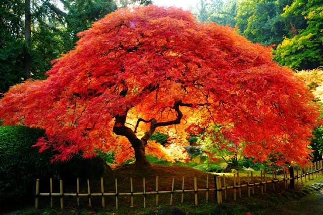 No Japão, esses tipos de árvores parecem artificialmente criados por quão coloridos e estranhas que elas são. Uma maravilha que só os japoneses podem desfrutar