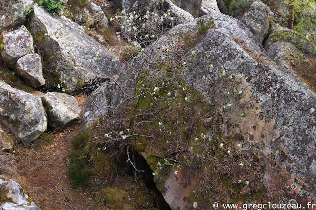 Bel Amélanchier à feuilles ovales, (Amelanchier ovalis) dans les Trois Pignons