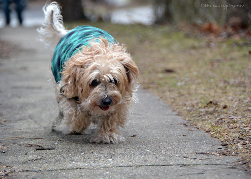 Ruby enjoys one last walk with her fluffy fur before getting groomed