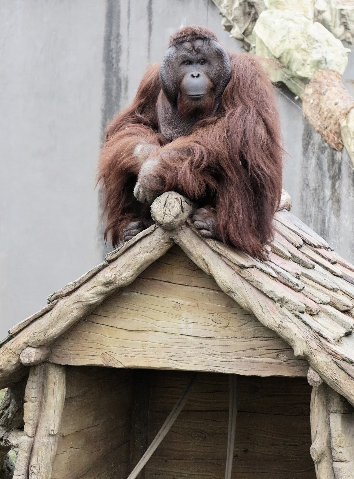 Picture of a pet orangutan.