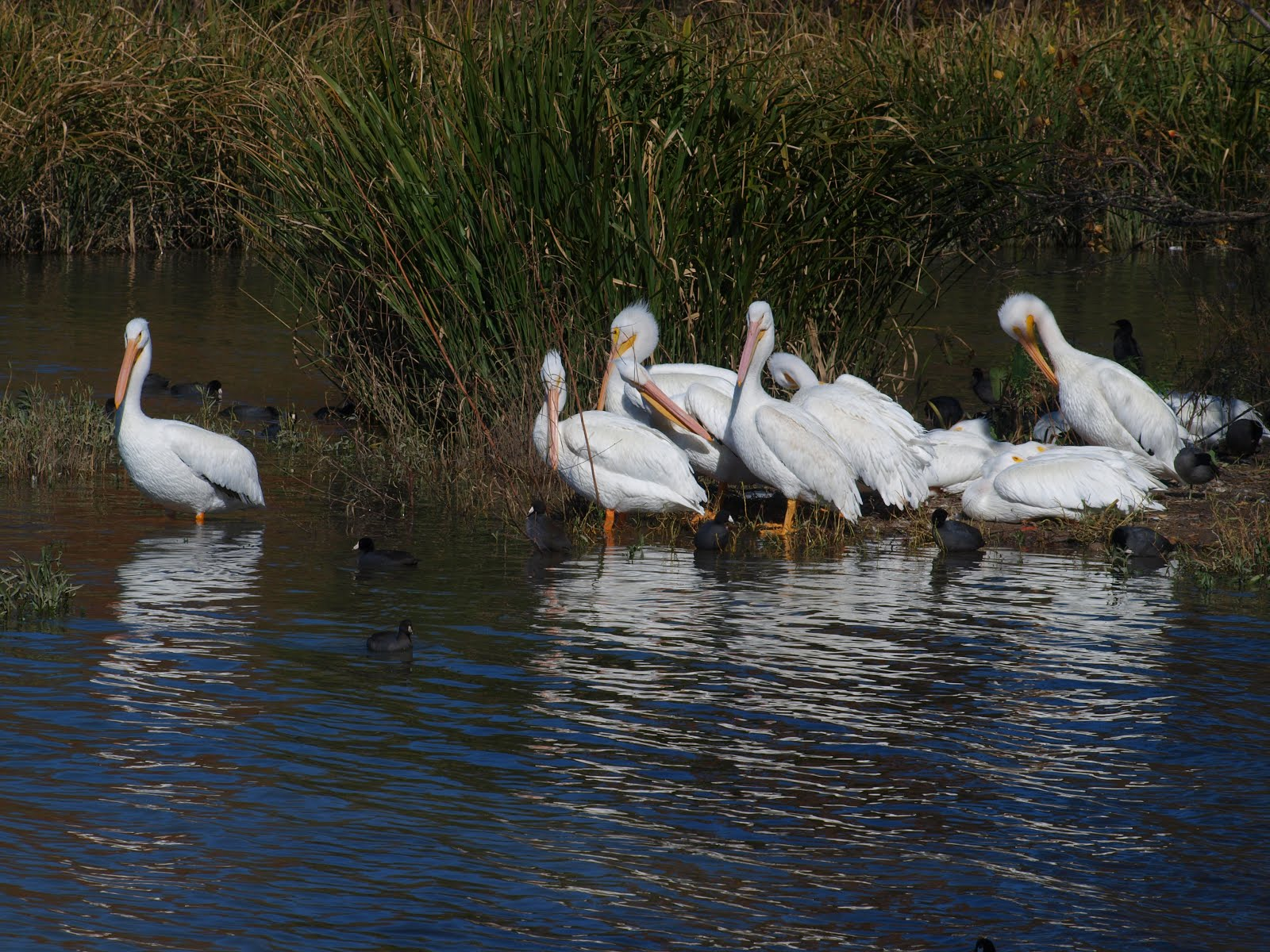 American White Pelicans and Coots