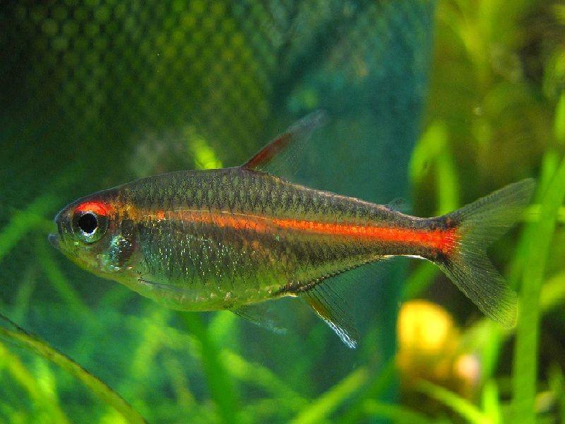 ikan neon tetra betina