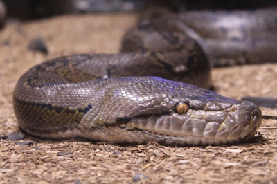 Research on snake genes shows what we learned back in Genesis. Namely, that they lost their limbs.